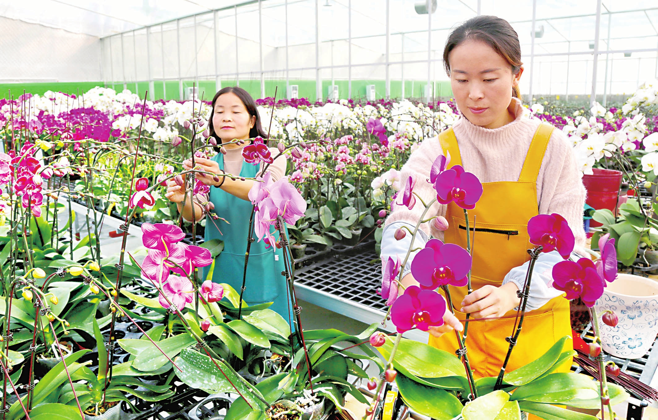 植下蝴蝶蘭開出致富花