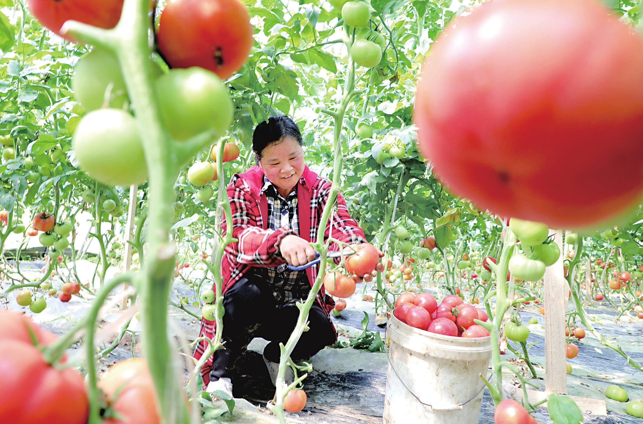 蘭樓村里番茄紅